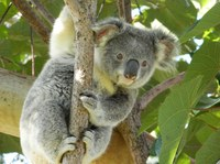 Koalas in Tree Tops
