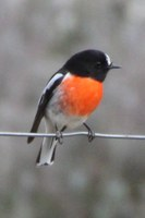 Michelago building habitat linkages for woodland birds on the Monaro