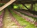 Growing the Braidwood Garlic Growers