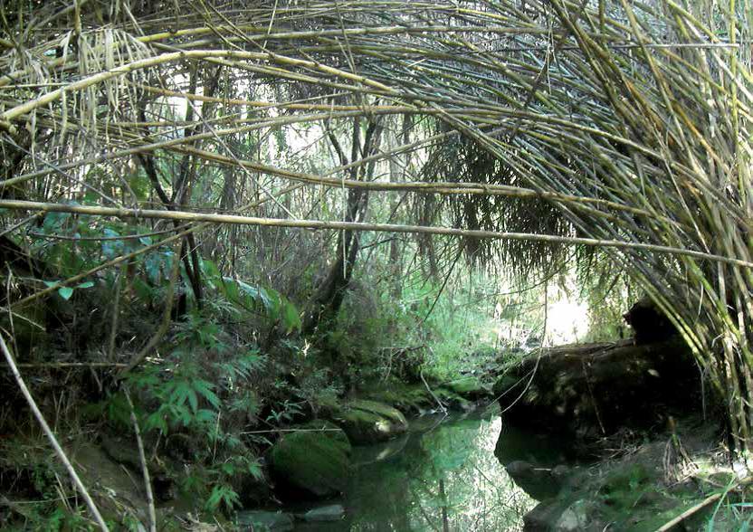 Wareemba Creek with Arundo