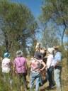 Lopping Seedpods of Needlewood Hakea