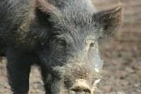 Weddin Landcare unite to combat feral pigs