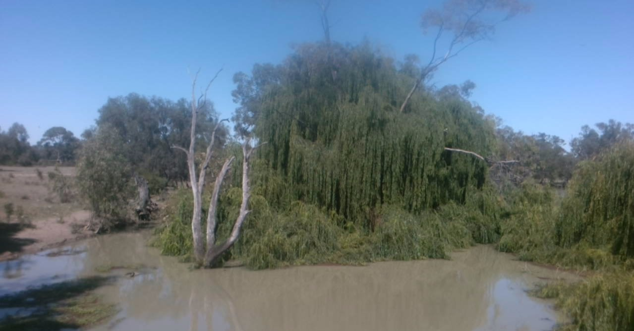 Willows that are now dead