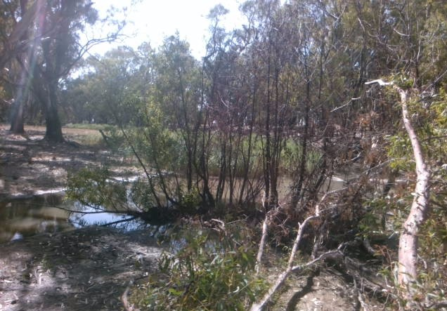 Native gums with aquatic weeds behind