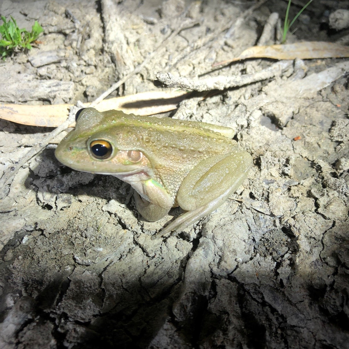 southern bell frog.jpg