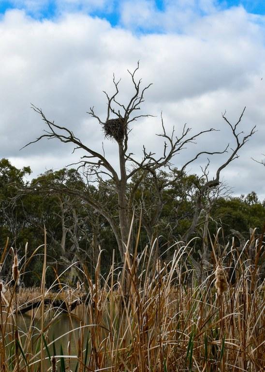 CSU-sea-eagle-nest.jpg